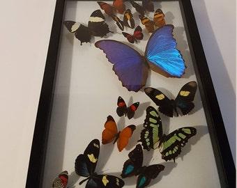 Black framed butterfly