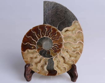 Split Ammonite Fossil Specimen Shell Healing Madagascar,Natural Home Decor+ Free Wenge Stand J505R