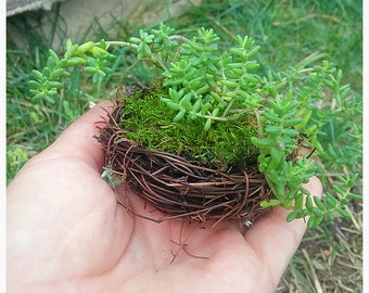 Succulents,Bird Nest,Nest,Planter,Fun,Cute,Sedum,Easy Care,Stone Crop,Bird,Plants,Live,Decorative,Home,Party,Gift,Housewarming,Birthday,Fun