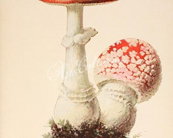 mushrooms-00298 - amanita muscaria Fly agaric toxic poisonous mushroom red with white vintage printable picture image old book plate page