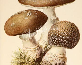 mushrooms-00300 - amanita umbrina Amanita regalis Royal fly agaric King of Sweden Amanita vintage printable jpeg picture digital download