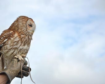 Tawny Owl - Fine Art Photography