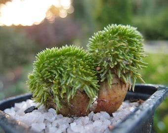 Sedum Reflexum Monstrosum Cristatum Live Plant