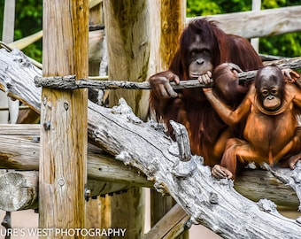 Orangutans, Hogle Zoo, Utah, Wildlife Photography, Nature Photography, Fine Art Photography, Wall Art, Home Decor, Gift