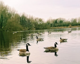 Graceful Geese