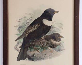 Vintage JG Keulemans Bird lithograph, Framed Art Print