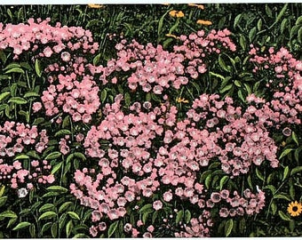 North Carolina Vintage Postcard - Mountain Laurel in Bloom (Unused)
