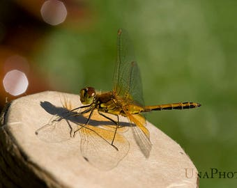 Dragonfly postcard for Postcrossing - Rafter, Flying adder Fine Art Photograph