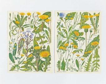 Spring decor, Yellow Botanical Drawings, two vintage yellow flower illustrations, old botanical prints, Spring art