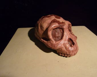 AUSTRALOPITHICUS (Lucy) HUMAN SKULL - life sized replica