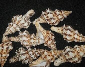 Fasciolaria Belcheri Seashells  (2 Shells)