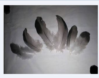 12 real feathers for various confections ft 121
