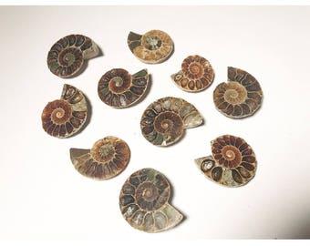 1 Ammonite Fossil