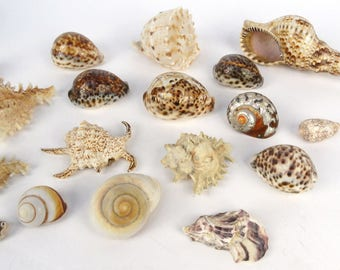 Decorative sea shells
