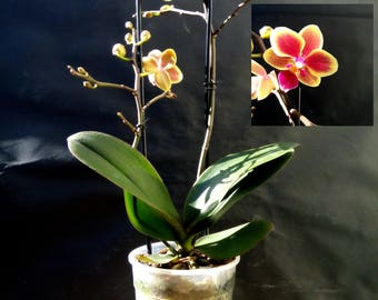 Phalaenopsis Orchid,Purple and yellow color