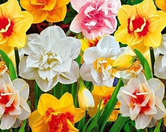 8 Double Daffodil Bulb Mixture - Jumbo Size 14-16cm - Fall Planting for Spring Blooms