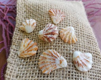 Kitten Paws Seashells from Sanibel Island, Florida