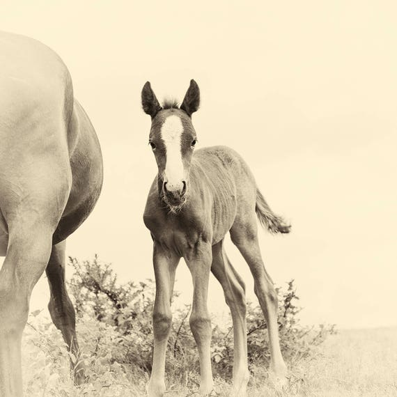NEWBORN. Foal Print, Equine Prints, Horse photography, New Forest Foal, Limited Edition Print, Photographic Print