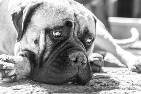 BULLMASTIFF DOG. Dog Portrait, Dog Print, Black and White Print, Bullmastiff Print, Limited Edition Print, Cute Dog.