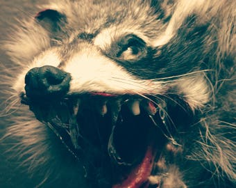 Taxidermy life-size zombie rabies raccoon wall mount horror prop