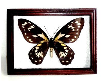 Ornithoptera victoriae BIG SIZE in frame made of expensive wood