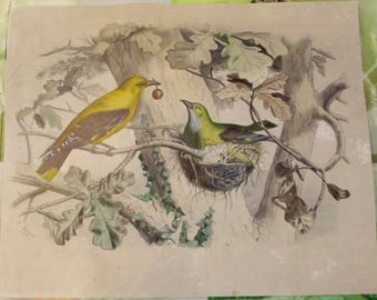 AncienneGravure, print, lithograph title pair of oriole and its nest Date 1849 j Nandzel colors
