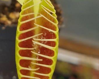 Venus Flytrap 'King Henry', live carnivorous plant, potted