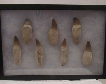 Awesome fossil dinosaur tooth display - mosasaur - 100m-65m years old