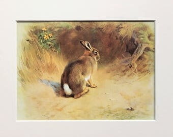 Rabbit Animal Print - Archibald Thorburn Original Colour Book Plate, Mounted/ Matted Reading for Framing