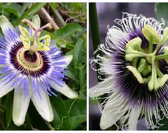 Passiflora caerulea OR  Passiflora edulis (Marakuja) Passion Flower