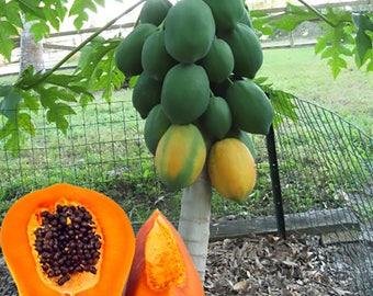 15 Tropical Papaya Fruit Fresh Tree Seeds, Rare Exotic Sweet Tropical Papaya Fruit Seeds