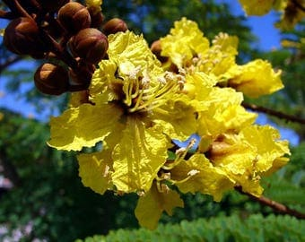 100   Seeds Peltophorum dubium, Yellow Poinciana, Copperpod, Horsebush, Yellow Jacaranda