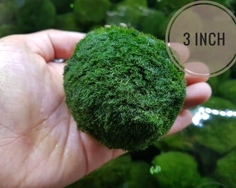 Marimo Moss Ball JUMBO 2-3inch for Terrarium Planted Tanks Live Aquarium Fish Shrimps Buy One JUMBO Get One XLarge!