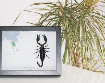 Insect framed DISCOVERY COLLECTION  Heterometrus laoticus