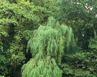 Weeping willow tree - 3 litre pot