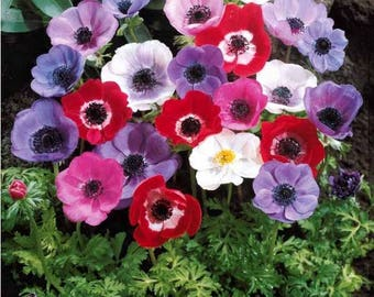 Anemone De Caen Mix Color Flower Bulb Perennial Spring Summer Blooming