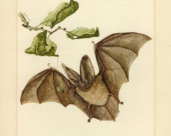 Vintage lithograph of the brown long-eared bat from 1956