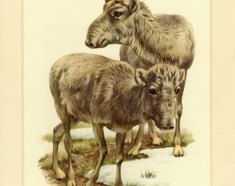 Vintage lithograph of the saiga antelope from 1956