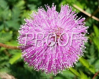 Pink Purple Poof