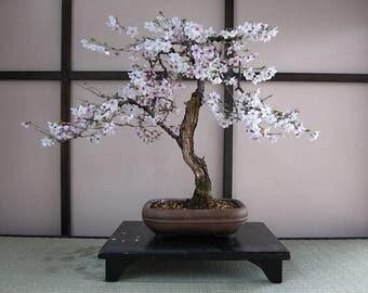 White Japanese Sakura Seeds Bonsai Flower Cherry Blossoms Cherry Tree Ornamental Plant 10 Particles