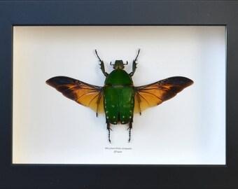 Female green cetoine Mecynorrhina torquata giant beetle of 143 mm wingspan!