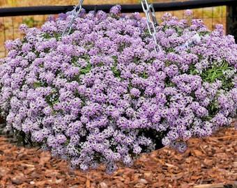 Alyssum Seeds, Easter Bonnet Violet, Violet Alyssum seeds, obularia Maritima seeds, Purple Flower Seed, flower seeds