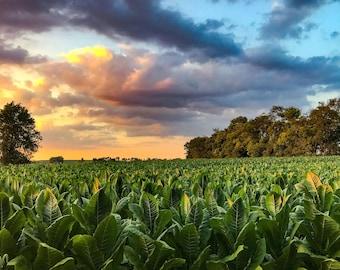Tobacco Field Photo