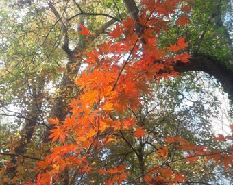 Fall leaves, Nature Photography, Autumn, Southern fall, Japanese maple, Oak trees, Orange leaves