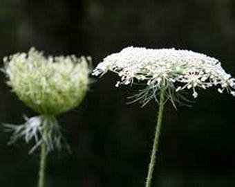 Queen Anne's Lace- 500 Seeds -