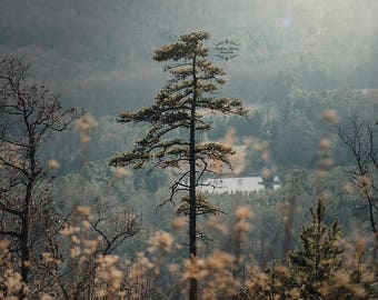 Mountain Pine Landscape Fine Art Photography Wall Art