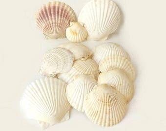 12 Scallop Seashells Large & Small Cockle Collectible Sea Shells, Beach Home or Garden Decor, Photo Prop