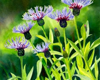 Cornflowers Watercolor Painting, Original Floral, Bachelor Buttons flowers 11 x 15 inches