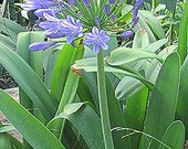 """Agapanthus """"Queen Anne"""" .. 20 seeds"""