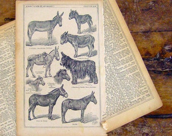 1921 French Print illustration Donkeys Breeds Mules vintage yellowed aged discolored